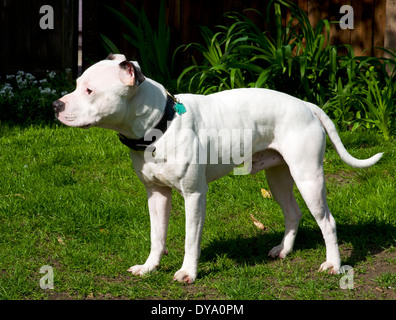 Young Male Staffordshire Bull Terrier - Stock Image