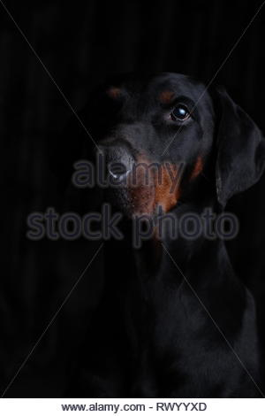 Portrait of a European Dobermann with a black background and side lighting - Stock Image