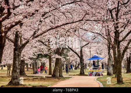 31 March 2019: Gyeong-Ju, South Korea - Visitors enjoying cherry blossom in the grounds of the Bulguksa Buddhist Temple, Gyeong-Ju, a UNESCO World Her - Stock Image
