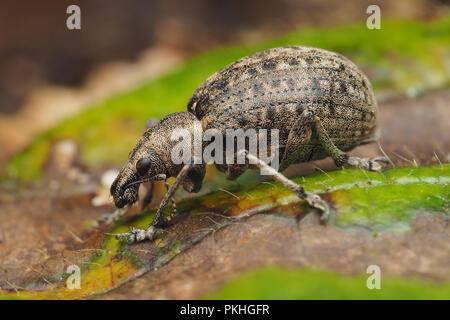 Weevil (Liophloeus tessulatus) walking along ivy leaf. Tipperary, Ireland - Stock Image