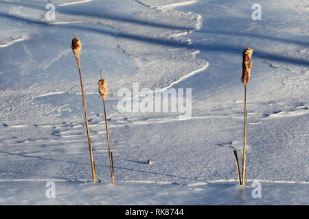 Quebec,Canada. Bulrushes in the Winter - Stock Image