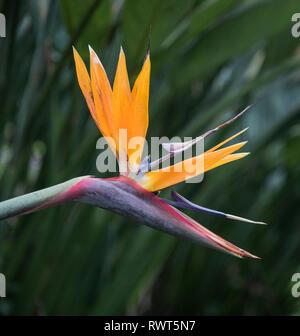 Close up of crane flower, strelitzia reginae in colourful bloom. Madeira Gardens Portugal. - Stock Image