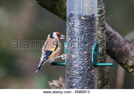Goldfinch (Carduelis carduelis) on seed feeder, Dumfries & Galloway, Scotland, UK, - Stock Image