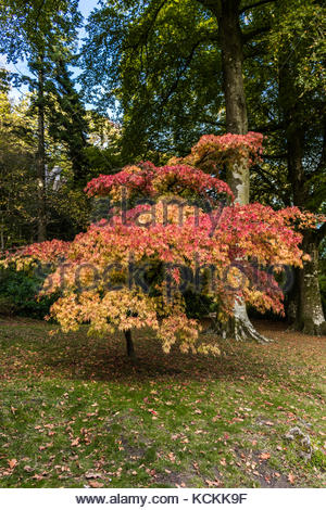 Acer Tree in Stourhead Gardens - Stock Image