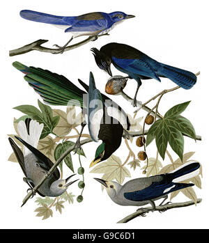 1 Scrub Jay, Aphelocoma coerulescens, 2 Yellow-billed Magpie, Pica nuttalli, 3 Clark s Nutcracker, Nucifraga columbiana, - Stock Image
