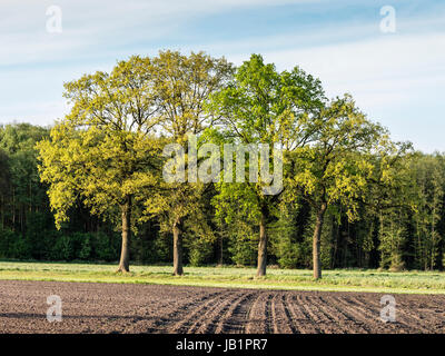 Group of oak trees in springtime, light green colors, at the edge of an acre, Celle, Germany - Stock Image