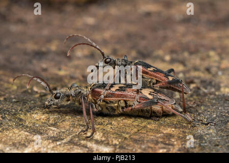 Two Banded Longhorn Beetles (Rhagium bifasciatum) preparing to mate. Tipperary, Ireland - Stock Image