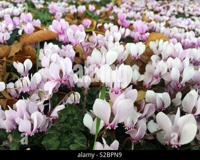 Cyclamen coum grows best in partial shade. - Stock Image