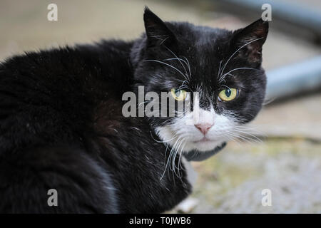 Downing Street, London, UK, 20th Mar 2019. Palmerston, the Foreign Office Cat, keeps his cool on a hectic Westminster Day. Palmerston and Larry, often known to have had tense feline relations, appear to keep their peace on a turbulent day of rather un-peaceful political tensions in Westminster. Credit: Imageplotter/Alamy Live News - Stock Image