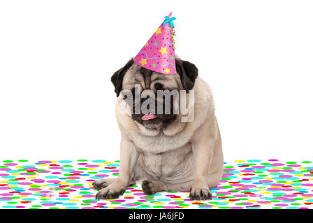 funny pug puppy dog wearing party hat, sitting down on confetti, drunk on champagne, tired with hangover, isolated - Stock Image
