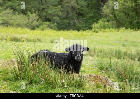 Herdwick Lamb, Lake District, Cumbria, UK - Stock Image