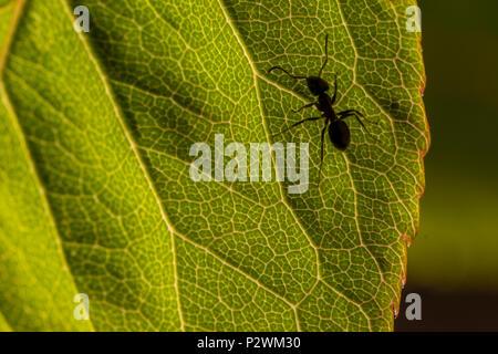 Ant on rose leaf - Stock Image