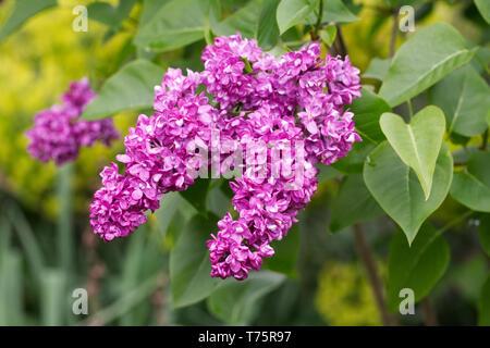 Syringa vulgaris 'Charles Joly' flowers. - Stock Image