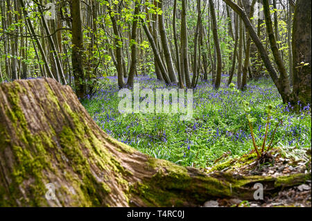 Brighton, UK. 18th Apr, 2019. A carpet of bluebells out in warm sunshine at Stanmer Park in Brighton as the weather is forecast to be warm and sunny over the Easter weekend with temperatures expected to reach over twenty degrees in some parts of the South East Credit: Simon Dack/Alamy Live News - Stock Image