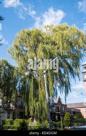 Large tall Weeping Willow tree on Bellevue st. in downtown Toronto Ontario Canada - Stock Image