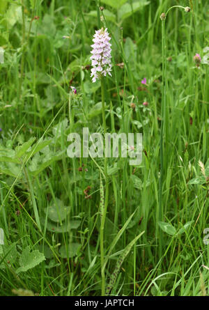 Flower spike of Common Spotted Orchid (Dactylorhiza fuchsii) growing in long grass. Bedgebury Forest, Kent, UK. - Stock Image