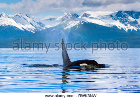 Orca whale (Orcinus orca) in Lynn Canal with Coast Range in the background, Southeast Alaska; Alaska, United States of America - Stock Image