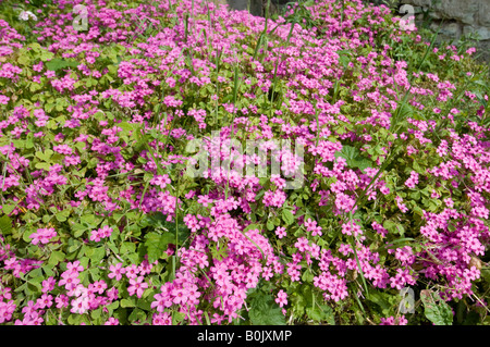 Pink garden flowers, France. - Stock Image