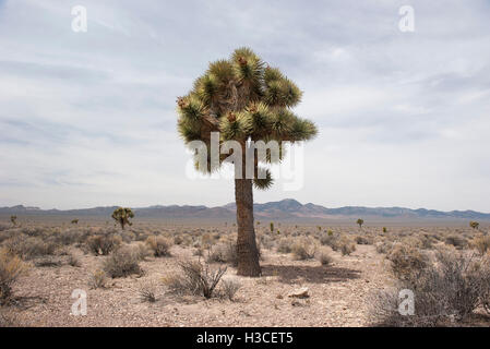 Joshua tree (Yucca brevifolia) growing in the desert - Stock Image
