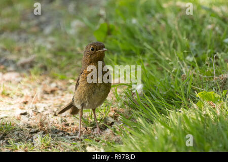 Juvenile Robin (Erithacus rubecula) standing upright and alert on ground. Tipperary, Ireland - Stock Image