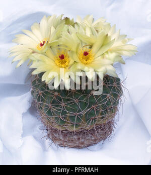 A cactus Parodia crassigibba with large pale yellow blooms. - Stock Image
