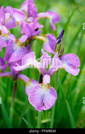 Close-up of iris sibirica 'Sparkling Rose' also known as Siberian iris - Stock Image