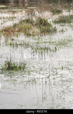 Inundated marshy field with Juncus Rush / Juncus effusus tufts sticking out of the flood water. Trump's 'Drain the Swamp' metaphor perhaps? - Stock Image