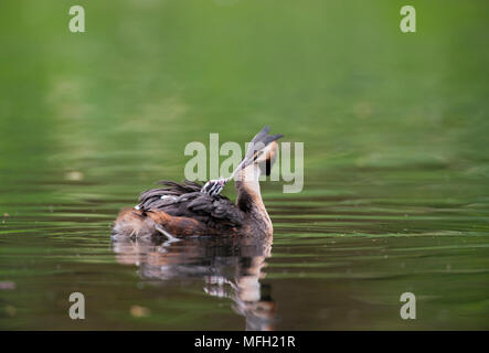 Great Crested Grebe, (Podiceps cristatus), feeding chick on back, Regent's Park, London, United Kingdom, British Isles - Stock Image