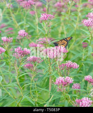 A Monarch butterfly (Danaus Plexippus) feeding on swamp milkweed flowers - Stock Image