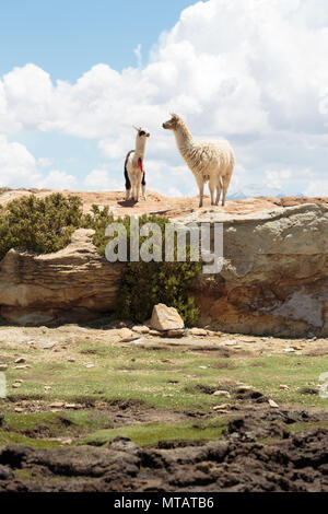 A pair of Llamas look over a rare stream in the Bolivian highlands. - Stock Image