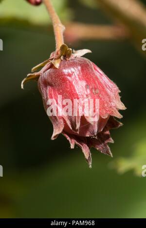 Decorative, edible cobnut of the red hazel, Corylus maxima 'Red Filbert' - Stock Image