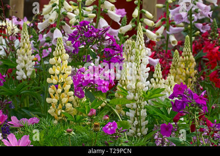 Colourful and attractive flower border in close up with mixed planting including lupins, cosmos, phlox and foxgloves - Stock Image