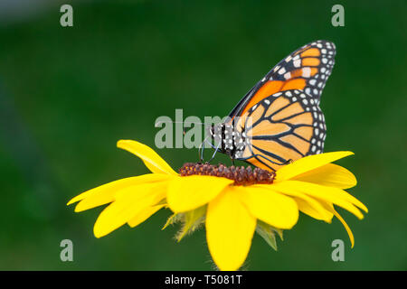 Monarch butterfly (Danaus Plexippus) feeding on a yellow flower with a green background - side view - Stock Image
