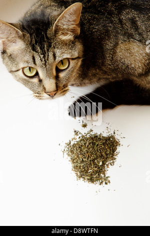 Cat looking up, near him is a heap of dried catmint(catnip) - Stock Image