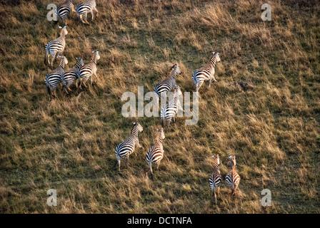 Aerial view of a herd or dazzle of Burchell's Zebras, Equus quagga, Masai Mara National Reserve, Kenya, Africa - Stock Image
