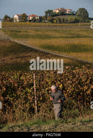 View over the vineyards just outside the small town of Monferrato in Piedmont, Italy. A man picks some of the grapes left over on the vines. - Stock Image