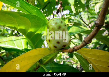 Noni fruit, renowned for its health benefits, growing on a tree - Stock Image