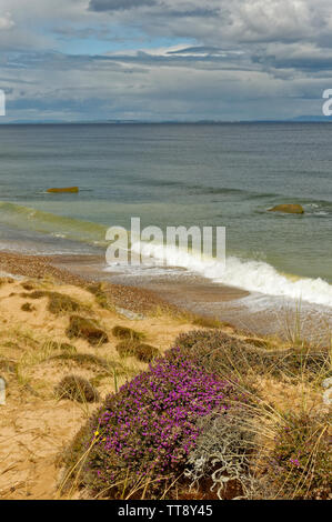 FINDHORN MORAY COAST SCOTLAND PURPLE FLOWERS OF HEATHER ERICA CINEREA GROWING ON A SAND DUNE NEAR THE SEA - Stock Image