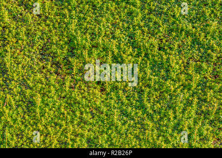 Clipped evergreen Yew hedge. - Stock Image