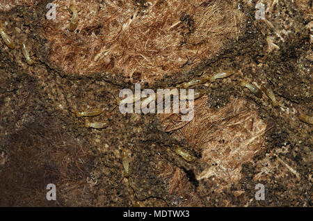 Termite workers of Kalotermes flavicollis species tunneling of an old and rotten carpet. Soft and pale colored body. - Stock Image