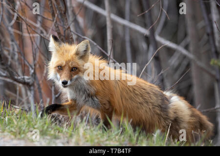 MAYNOOTH, ONTARIO, CANADA - May 04, 2019: A red fox (Vulpes Vulpes), part of the Canidae family forages for food on the side of the road. Ryan Carter - Stock Image