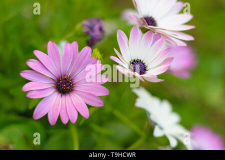 White and pink African Daisies (Osteospermum) blossoms - Stock Image