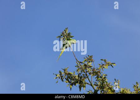 Feral parakeet in oak tree - Stock Image