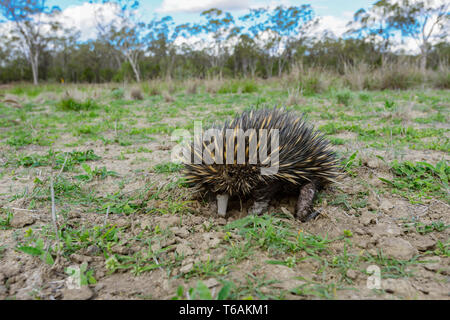 Short-nosed Echidna or Short-beaked Echidna (Tachyglossus aculeatus) feeding on ants, near Injune in the Queensland interior, QLD, Australia - Stock Image