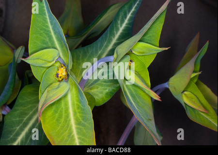 2009 flowering Euphorbia lathyris plant in Scotland - Stock Image