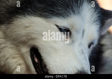 Close up of Husky face profile with blue eyes, sitting, relaxing. - Stock Image