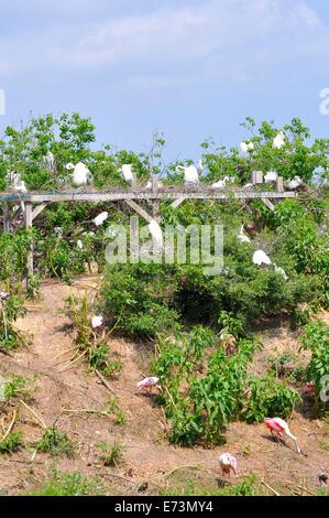 Nesting egrets at Smith Oaks Bird Sanctuary rookery on High Island, near Galveston, Texas, USA - Stock Image