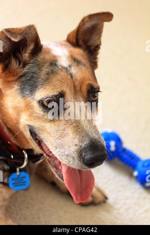 EXCITED CATTLE DOG WITH PLASTIC TOY  VERTICAL BDA - Stock Image