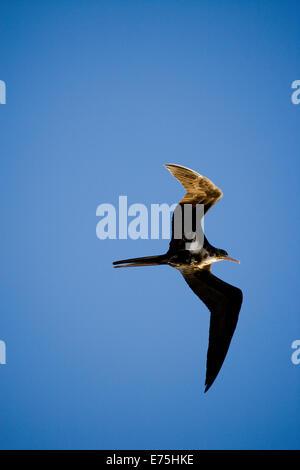 Bird, Australia - Stock Image
