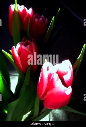 Tulips in Vase - Stock Image